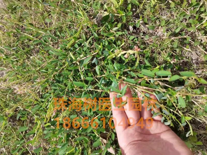 """草坪养护-对付""""莲夹豆""""等多年生恶性阔叶杂草,如何药到草除!"""